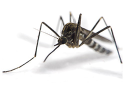 Photo of Aedes Mosquito