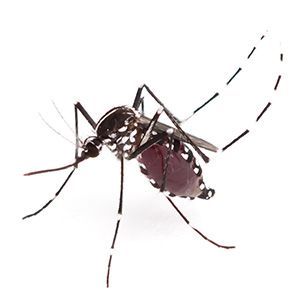 Photo of Aedes albopictus mosquito