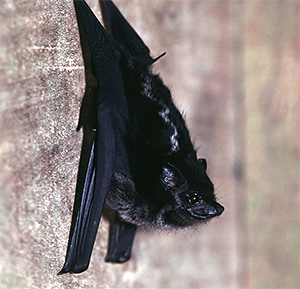 Photo of a bat hanging on a wall