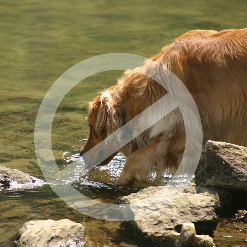 Photo of dog drinking from potentially contaminated water source